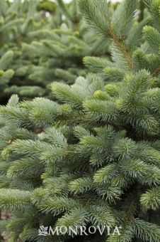 Monrovia's Baby Blue Eyes Spruce details and information. Learn more about Monrovia plants and best practices for best possible plant performance.