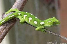 O gecko verde Auckland , Naultinus elegans elegans , é uma subespécie do gecko encontrados apenas na metade norte da theNorth Ilha da Nova Zelândia, com exceção norte de Whangaroa. As outras subespécies, a lagartixa verde Wellington, é encontrado na metade sul da Ilha do Norte e os dois intervalos não se sobrepõem. Seu comprimento é de até 145 mm, de focinho à cloaca