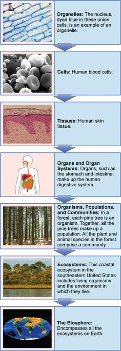 The biological levels of organization range from a single organelle all the way up to the biosphere in a highly structured hierarchy. Read more about levels of organization of living things in the Boundless open textbook.
