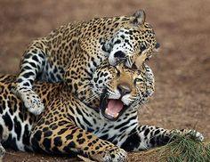 Jaguar cub Maderas attacking mom, Nindiri, summer 2012. By Darrell Ybarrondo