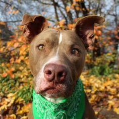 5 / 9 ***SENIOR*** Petango.com – Meet Choco, a 10 years Terrier, American Pit Bull / Catahoula Leopard dog available for adoption in AUSTIN, TX Address 6247 Box, AUSTIN, TX, 78762 Phone (512) 961-6433 Website http://www.austinpetsalive.org Email info@austinpetsalive.org