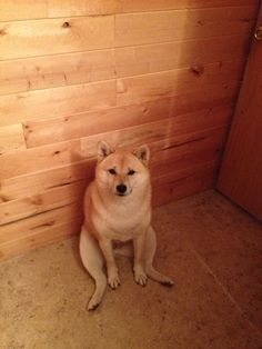 Red Shiba Inu sitting like a human. /// sitting like a WEIRDO Kittens And Puppies, Cute Puppies, Shiba Inu Breeders, Chien Akita Inu, Pet Dogs, Dog Cat, Doggies, Life Is Ruff, Tallest Dog