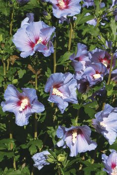 Hibiscus syriacus, Althaea, Rose of Sharon Mallow Ketmie, Hardy Shrub, seeds Summer Flowers, Colorful Flowers, Shrubs For Landscaping, Garden Design Magazine, Hydrangea Paniculata, Foundation Planting, Fall Fruits, Rose Of Sharon, Container Design