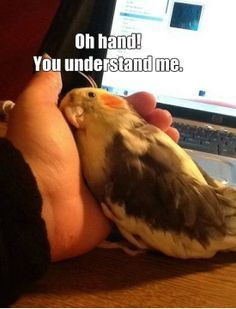 funny cockatiel memes - Google Search