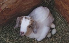 On the farm, the goat took over many of the other animal's chores. She became especially popular as a babysitter.