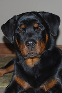 rottweiler looking cute! He's not a Rotti, he's a BEAUCERON. Look it up on Google, and SOOOOOO many people will be enlightened about this breed that often gets confused with a Rotti-Mix. Unfortunately, we found out too late! 3 days after Gunnar (4yrs old) passed away from Lymphoma 12-12-12.  I miss him TERRIBLY