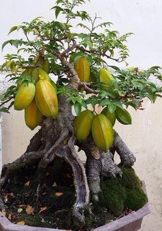 Wondering How Bonsai Trees Are Made? Bonsai, Fairy Garden, Plants, Fruit Garden, Bonsai Fruit Tree, Trees To Plant, Potted Trees, Bonsai Tree Types, Miniature Plants