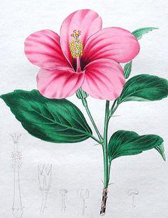 Hibiscus rosa-sinensis Malvaceae