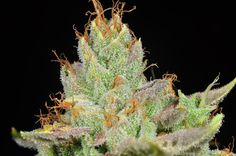 """Information courtesy of Moonshine: """"The SFV is 'San Fernando Valley' which most folks know.  What they don't know is the SFV is actually an S1 (a self seeded) of the ORkid's Ghost OG Kush.  It is very similar to the ORKid cut with a little healthier/sturdier branches.  The medicinal effects and highs are very close in nature, with the SFV generally being a little more somber and meditative.  Lastly, SFV is widely rumored to be the XXX OG Kush because the SFV is where the porn industry is/was…"""
