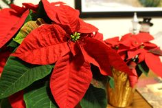 Poinsettias are easy care and NOT poisonous! Go forth and decorate