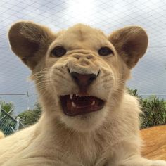 "Black Jaguar-White Tiger on Instagram: ""Good morning Lovely people. Here's Julito by @chris.bjwt #babyjuliobjwt #savelions #saveourplanet #behuman #notpets #nosonmascotas #blackjaguarwhitetiger #rescuedlions"""