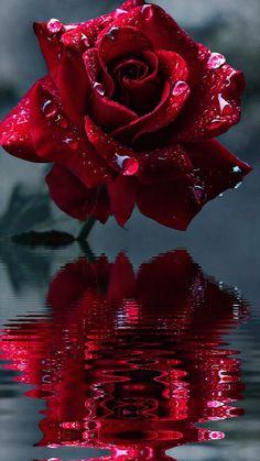 Reflections of a rose . Reflections of a rose . Reflections of a rose . Reflections of a rose Beautiful Rose Flowers, Flowers Gif, Beautiful Flowers Wallpapers, Beautiful Nature Wallpaper, Pretty Wallpapers, Pretty Flowers, Trailing Flowers, Cosmos Flowers, Butterfly Flowers
