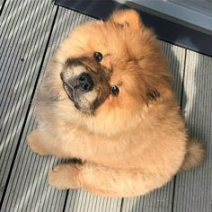Best Images and Ideas about Chow Chow, The Oldest Dog Breed #WhatMakesAnEnglishBulldog