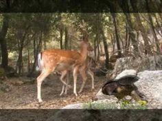 Daini in Sardegna - YouTube
