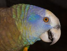 """""""St. Vincent Amazon parrot, an endangered parrot species found only on a small Caribbean island known as St. Vincent, which is just 11 miles wide and 18 miles long, and is located northeast of Venezuela and west of Barbados. Because they have a wild population estimated at only 800 individuals, the species was officially classified as endangered in 1970 by the International Union for the Conservation of Nature (IUCN)."""""""