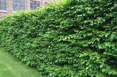 hekk er ikke bare tuja, det finnes mange andre valgmuligheter, alt fra bærbusker til litt store, blomstrende planter og busker.