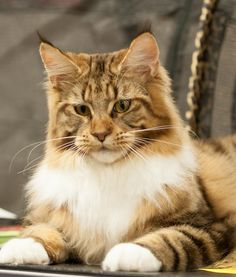 MAINE COON CAT (One of the 10 Cat Breeds That Love Water)