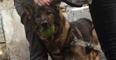 Bak, il cane antimine che ha salvato vite umane, ora è malato, solo e cerca casa.