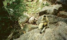Hanuman langur monkey mother nursing her baby inside Ranthambore national park.