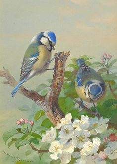 1923 Archibald Thorburn (Scottish, 1860-1935) ~ Two Blue Tits on a Tree Branch