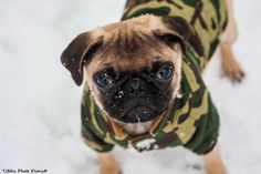pug vs snow by Tibor Sörös on 500px