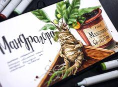 Мандрагора, которой в средневековье чего только не лечили: тоску страх и депрессию (налетай, ребята), одержимость бесами и эпилепсию. Ну и любовные и приворотные зелья  с мандрагорой в первых рядах.  А во всем внешность виновата -корень растения сильно смахивает на человечка ♂️ 1/4 #lk_sketch_marathon  #art_markers, #art_we_inspire, #topcreator , #sketch, #illustration, #скетч, #иллюстрация, #скетчбук, #ботаника, #marker, #copicmarker, #copic, #copicart, #одинденьсхудожником,  #savannask... Copic Marker Art, Copic Art, Copic Sketch Markers, Paint Markers, Sketchbook Inspiration, Art Sketchbook, Food Illustrations, Illustration Art, Copic Drawings