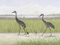 Florida's sandhill cranes are a threatened species that are found in inland shallow freshwater marshes, prairies, pastures and farmlands. Sometimes they can be seen on lawns throughout Florida. They are sensitive birds that do not adjust well to changed environments and high human populations. Sandhill cranes are usually seen in small family groups or pairs. However, during the winter, Florida's sandhill crane population increases as cranes from northern states spend the winter in Florida.