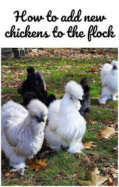 How to add new chickens to an existing flock without upsetting the pecking order too badly!
