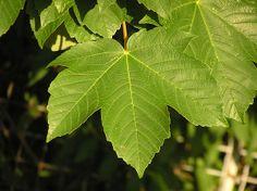 Javor mléč-Acer platanoides čeleď-mýdelníkovité