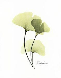 Ginkgo - Albert Koetsier, Hand Painted X-Rayographs