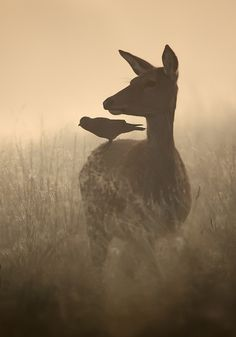 A shot of a Red Deer in thick morning fog, with a Jackdaw hitching a free ride at Richmond park. Colours look dull and very colour cast like, but the low sun is in the wrong place.no, I was in the wrong place :-) Nature Animals, Animals And Pets, Cute Animals, Wild Animals, Baby Animals, Beautiful Creatures, Animals Beautiful, Photo Animaliere, Jackdaw