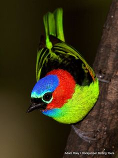 Tanager | National Geographic (blogs)