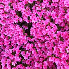 Pink azalea, supposedly in Joe Waters' garden in Newton, Mass. These better not be his neighbor's azaleas.... :)
