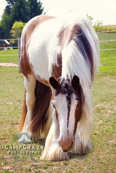 Gypsy Vanner 3 by CampCrazy Photography, via Flickr