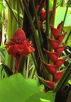 red torch ginger - Google Search