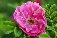Rosa rugosa 'Jens Munk' Love Rose, Beautiful Roses, Garden, Flowers, Plants, Garten, Lawn And Garden, Gardens, Plant