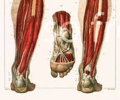 29X40cm Muscles de la Jambe et du Pied, Reproduction Planche Anatomique Corps…
