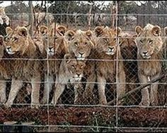Animals are trapped within a fenced enclosure from which they cannot escape, then people go in and pay a... (40992 signatures on petition)