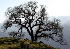 Valley Oak #4