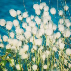 Cotton Grass- I bet Sarah could paint this for me. ;-)