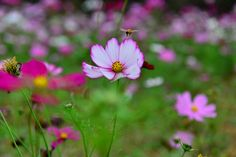https://flic.kr/p/hUkXyH | Cosmos | Copyright © Vincent Ting Photography. All rights reserved. Please don't use without my permission Welcome visit my Getty Images