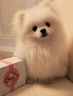 "(If you're gonna get someone a dog for the birthday, make it a pom pom!)* * "" ME DON'TS KNOW. ME CAME WIF DE BOX."""