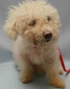 SUPER URGENT Brooklyn Center REINA – A1044535 FEMALE, WHITE, POODLE STND, 10 yrs STRAY – STRAY WAIT, NO HOLD Reason STRAY Intake condition EXAM REQ Intake Date 07/18/2015