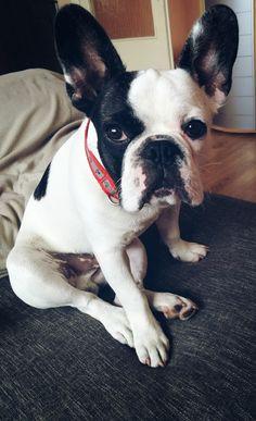 My puppy french bulldog