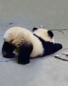 ♔ Baby panda <-- Cute little fluffle butt! ♔ Baby panda <-- Cute little fluffle butt! Baby Animals Super Cute, Cute Little Animals, Cute Funny Animals, Big Animals, Cute Little Things, Fluffy Animals, Animals And Pets, Baby Animals Pictures, Cute Animal Photos