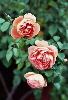 roses | ann street studio