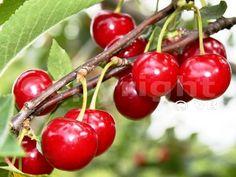 ÉRDI BŐTERMŐ Cherry, Fruit, Food, Essen, Meals, Prunus, Yemek, Eten