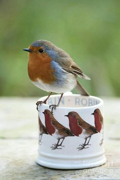 """European Robin / """"Did I pose for this?"""""""