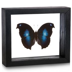 This real specimen of the Moonset Butterfly, prepared right here in our own Entomology Department makes fascinating decor for any space!