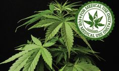 Reefer to the Rescue: Medical cannabis presents new treatment options for pain management Medical Cannabis, Take Care Of Me, Pain Management, Chronic Pain, Fall 2015, Plant Leaves, Presents, Gifts, Favors